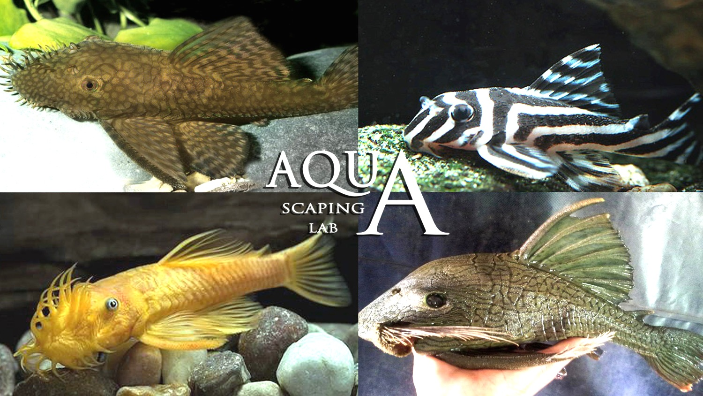 Ancistrus pesce gatto pulitore scheda tecnica for Pesce pulitore acqua dolce