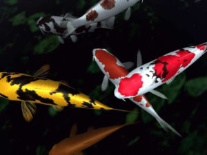 japanese-koi-fish-pond-i4