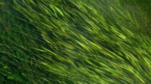 Vallisneria_spiralis_KUT_20110915