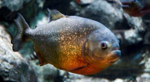 Gregory_Moine_-_Red_bellied_Piranha_(by)_2
