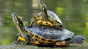 Photo from ARKive of the Yellow-bellied slider turtle (Trachemys scripta) - http://www.arkive.org/yellow-bellied-slider-turtle/trachemys-scripta/image-G112606.html