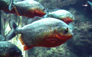 piranha-262575_960_720