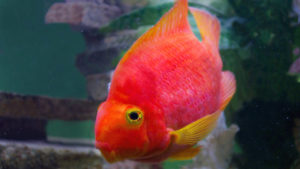red-parrot-fish-aquarium-2570879_2