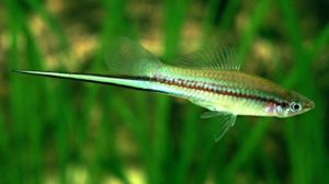 Swordtail Fish for Aquariums with Information and Pictures | 168x300