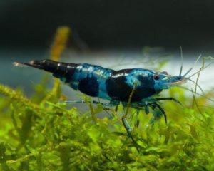 9b5566ef40225a81acfff453518347c4--sakura-garnele-nano-aquarium