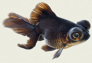 black-moor-telescope-butterfly-fantail-fancy-goldfish