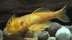 Uitgelezene ANCISTRUS - Catfish - facts info ~ Aquascaping Lab CP-66
