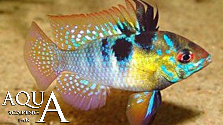 Ram cichlid apistogramma mikrogeophagus ramirezi facts for German ram fish